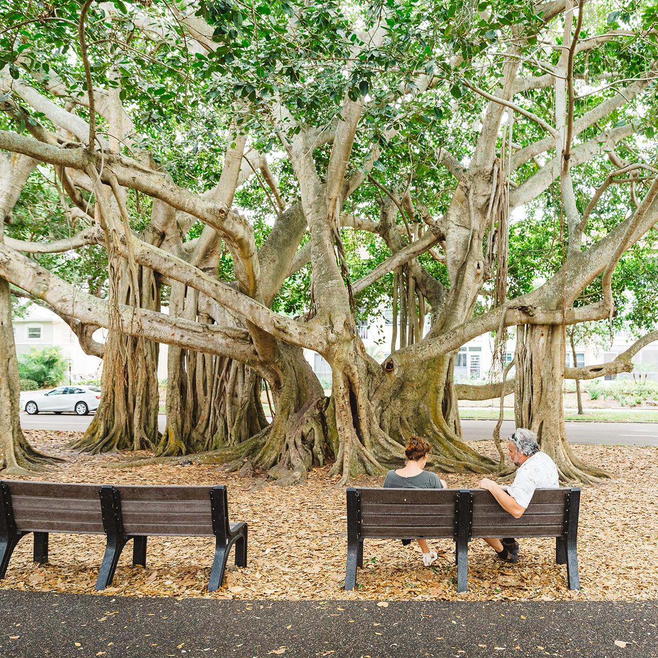 Venice banyan trees - Venice Florida