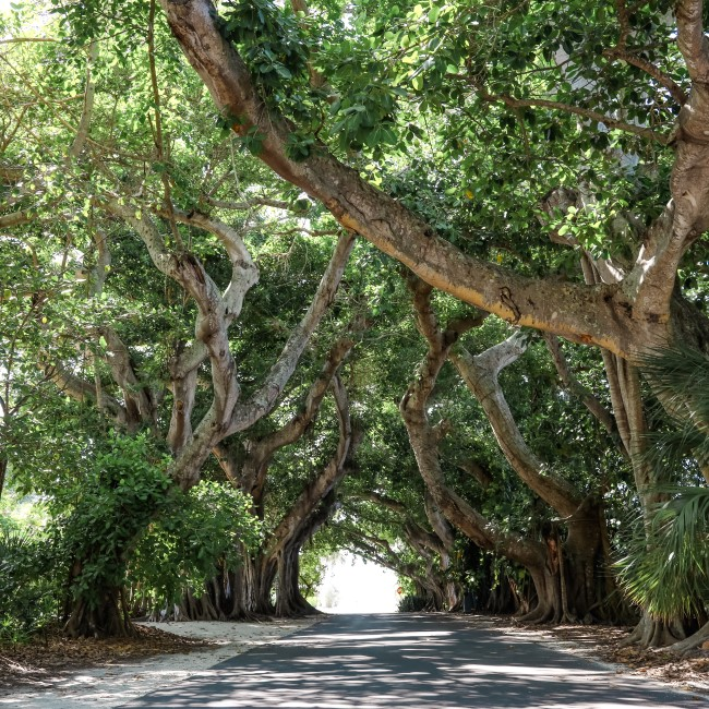 Canopy road Boca Grande